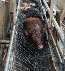 Мойка коров из труб с отверстиями для воды